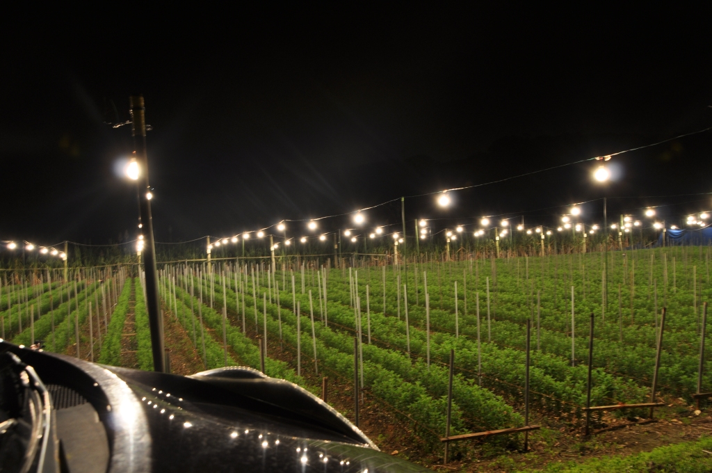 Chrysanthemums are Yomitan's biggest export. They keep the lights on all night