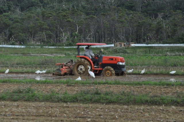 In Scotland, Seagulls follow the plough. Here it is Egrets
