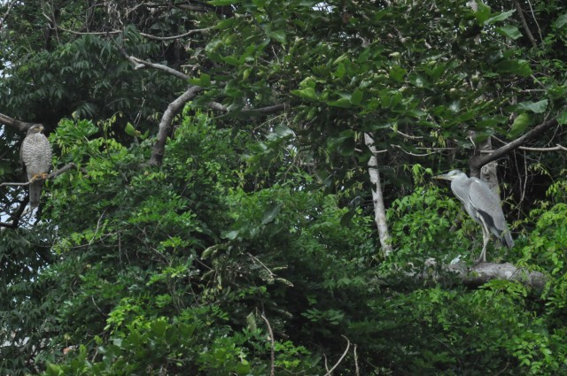 A Pale Faced Buzzard and a Grey Heron  chilling. How cool is that?!!