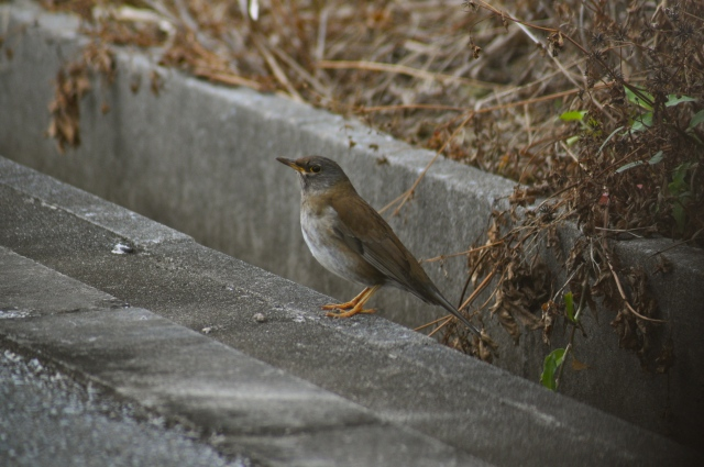 A Pale Thrush - Winter visitor