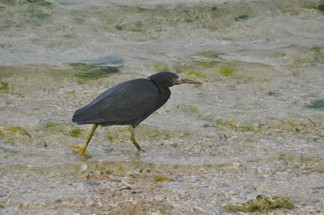 This is a Pacific Reef Egret - grey morph. Okinawa is irresistible.
