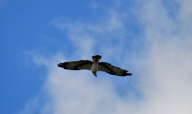 I look up and there is an Osprey