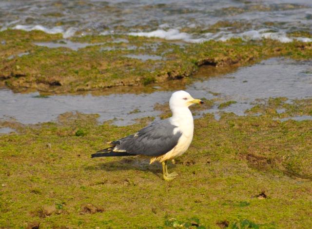 Black Tailed Gull