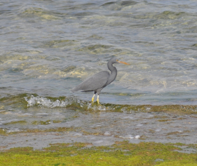 A grey morph Pacific Reef Egret just beside the gull.