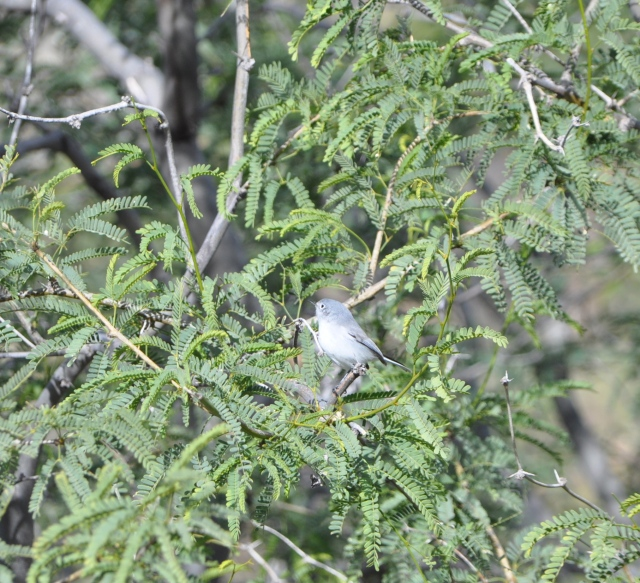 Anybody's guess - maybe Virginia's Warbler.