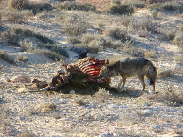 Coyote chows down