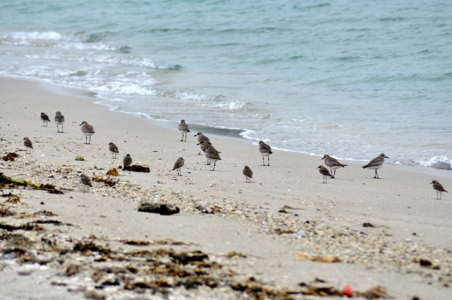 I think Golden Pacific Plovers er big and Kentish Plovers er small