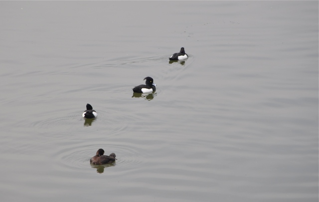 Tufted Ducks hanging out by the subway station