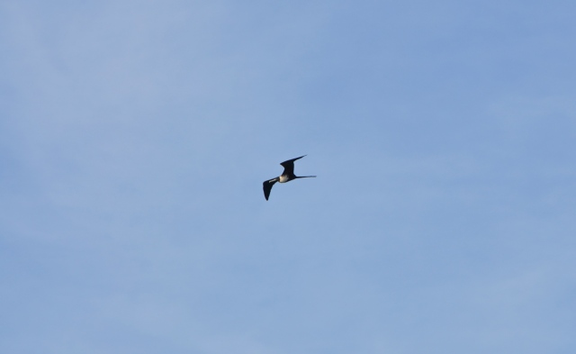 Frigate Bird, of which there are lots