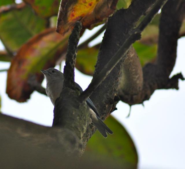 Grey finch thing