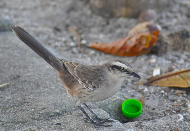 This is a Tropical Mockingbird