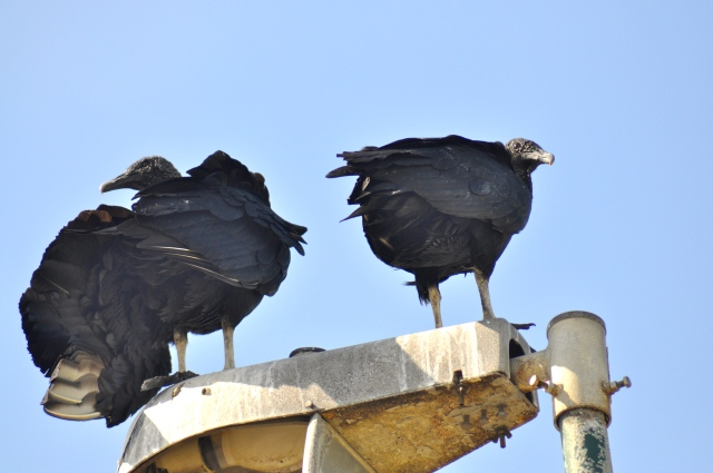 Black Vultures. I have seen these in Mexico