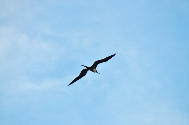 Magnificent Frigate Bird