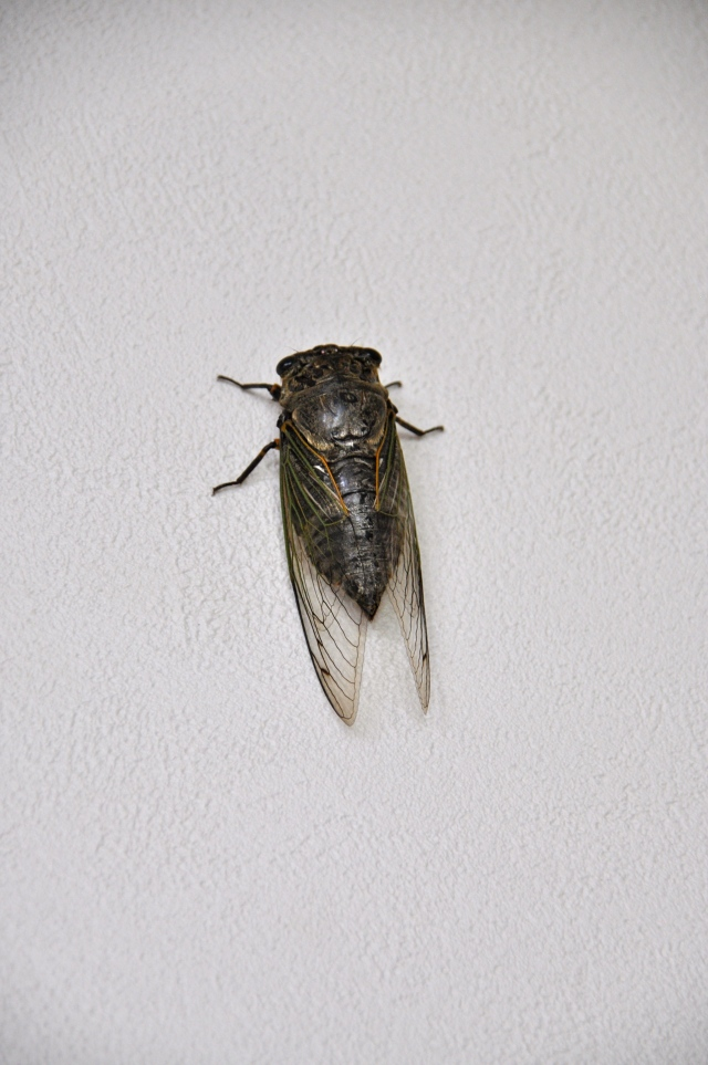 It is a huge cicada, about 5 cms long.