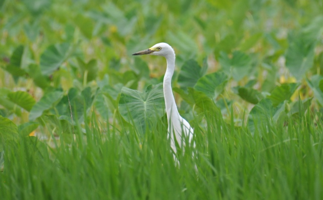 Taro behind, rice before, Intermediate Egret in the middle.