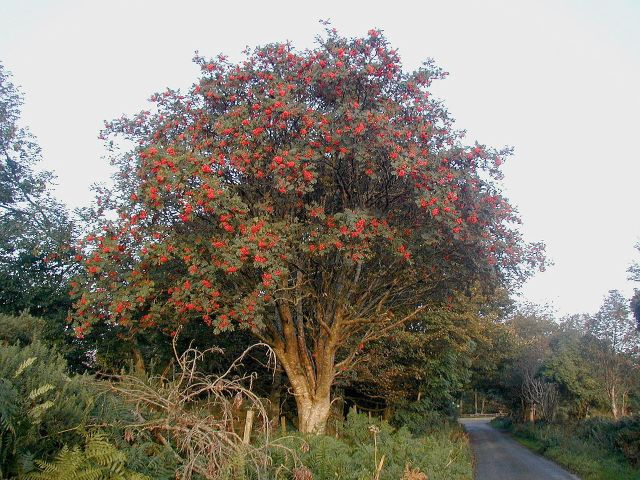 Oh there arose my father's pray'r In holy ev'ning's calm How sweet was them my mother's voice, In the martyrs' psalm Now a'are gane! We meet nae mair aneath the rowan tree But hallow'd thoughts around thee twine O'hame and infancy Oh rowan tree