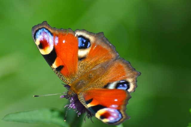 A Scottish butterfly