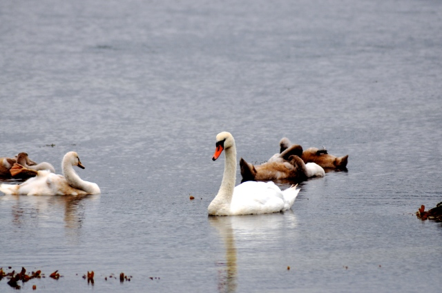 Mute Swan with 5 cygnets