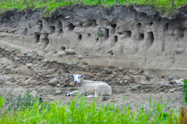 Sheep with blue ear rings rests under the burrows of very rare Sand Martins