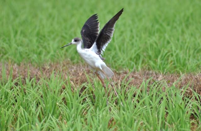 Black Winged Stilt flees or flies - you choose.