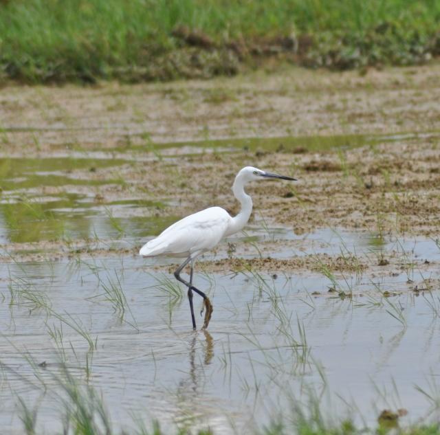 Little Egret - notice yellow foot
