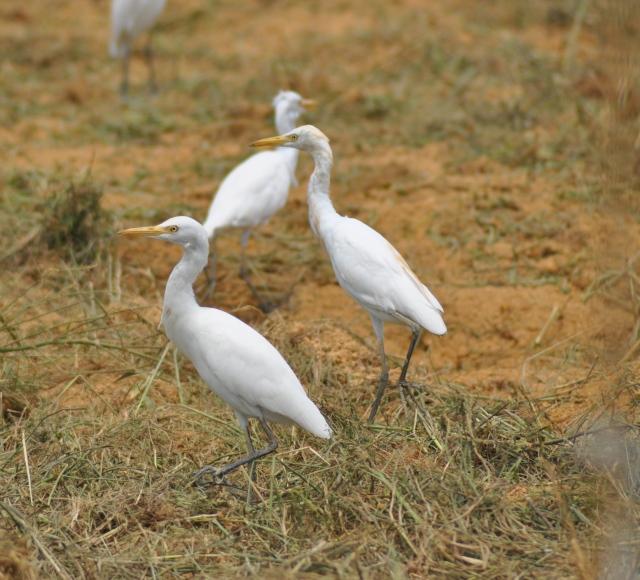 Hot Cattle Egrets