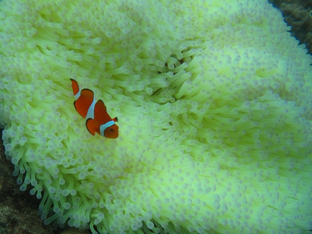 Different sort of clown fish