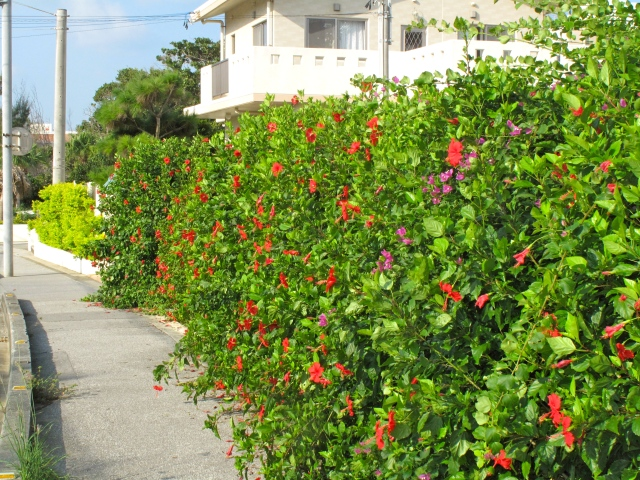 Hibiscus hedge lines the route