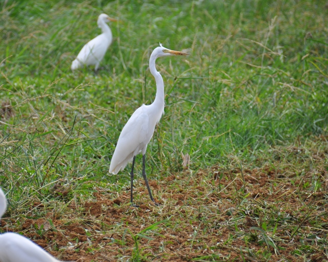 The Intermediate Egret. No gape line, smaller, less kinked neck. Bad at Math