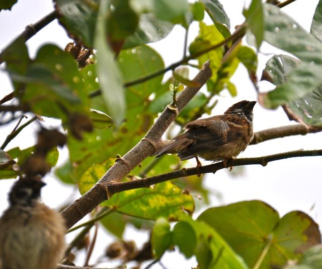 Bedraggled Russet Sparrow