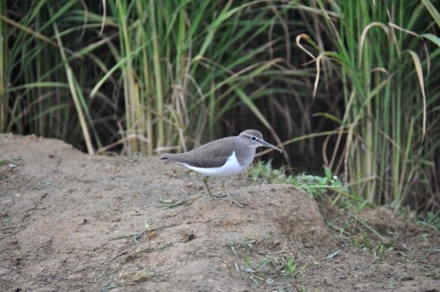 Common Sandpiper Frightful manners