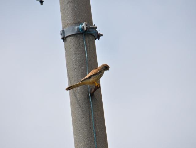 Eurasian Kestrel, gey few around here.