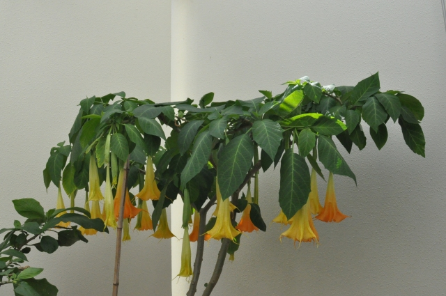 On the bright side,it is nearly December and the Brugmansia is still doing very well.