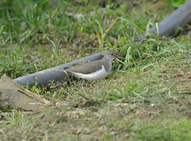 The Common Sandpiper bellows