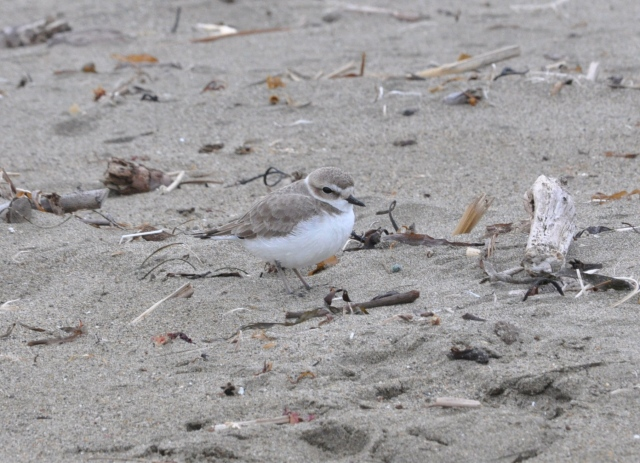 Snowy Plover! Desperately rare