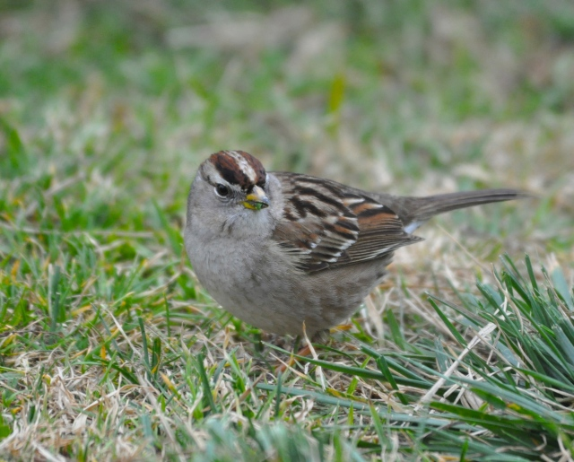 White crowned Sparrow - not rare here but very rare as in non-existent in Okinawa.