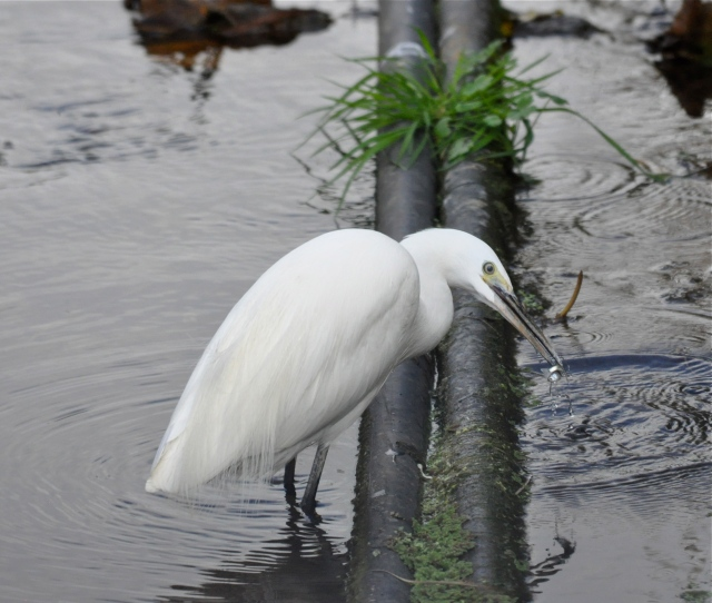 Little Egret catches fish