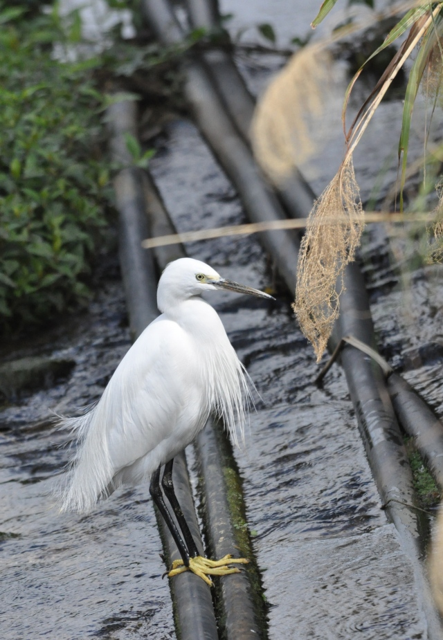 Whoa ! You can really see the little Egret's yellow feet. Intense joy.