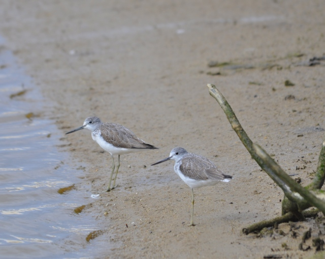 Greenshanks. The one in the foreground only has one leg. I thought this was a style of standing but when it moved it hopped with clumsiness. What is the story behind a wild bird losing its leg?