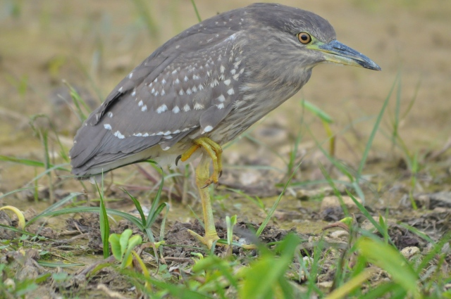 So, this is a young Chinese Pond Heron, which is a rarity.