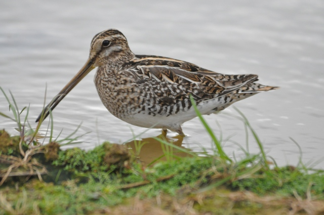 I think this is a Common Snipe, but there are 3 others that look exactly the same so perhaps not.
