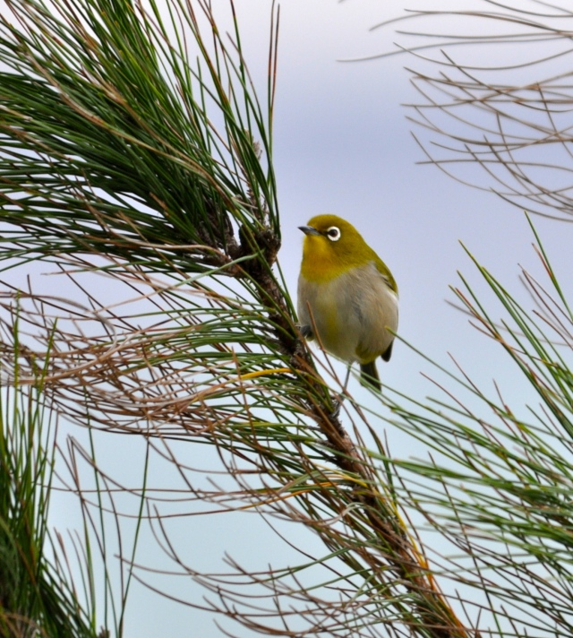 Japanese White Eye on my deck early this morning.