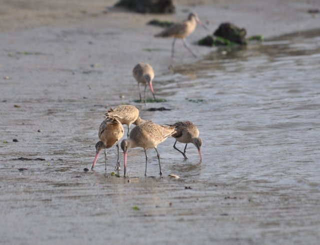 A congregation of Marbled Godwits