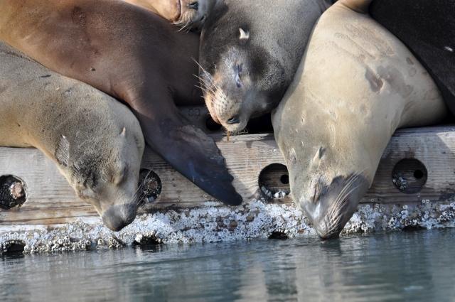 Sea lions snooze