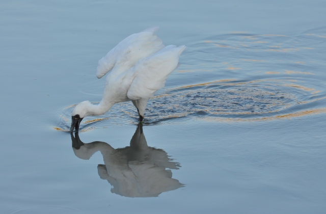 Black Faced Spoonbill, endangered species, tries to catch a fish.