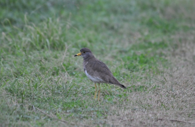 Not a very good photo but a very rare bird. Grey headed lapwing.
