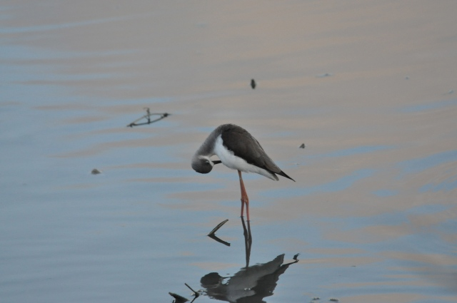 Lonely little Black Winged Stilt in the onion patch