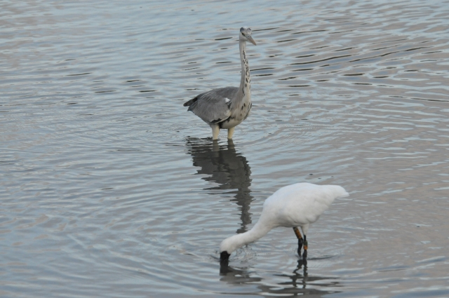 Grey Heron endangers Spoonbill.