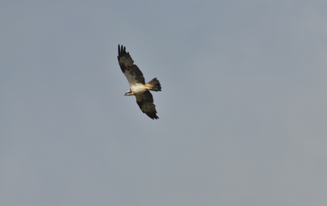 This is the Osprey what I watched