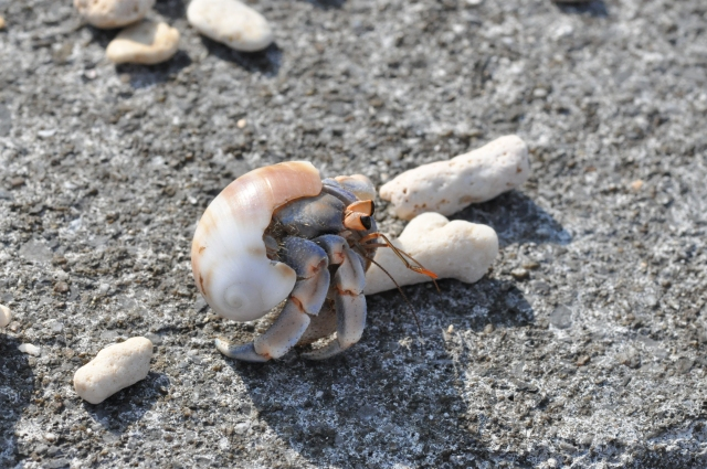 A hermit crab on my morning beach clean.